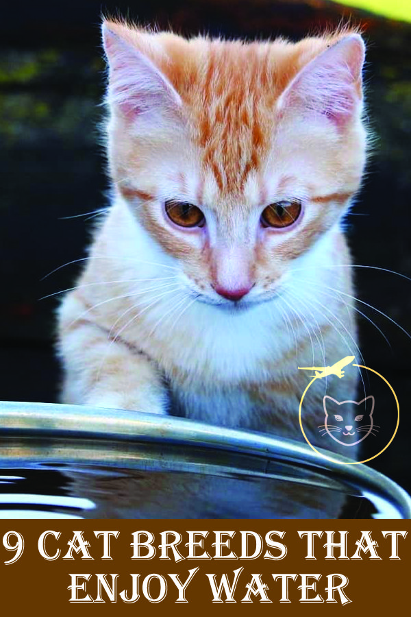 9 Cat Breeds That Enjoy Water Cat breeds, Cats, Breeds