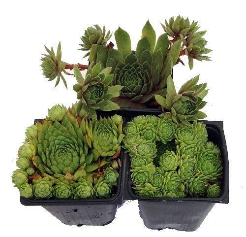 "Hens & Chicks Collection 3 Plants -Sempervivum - Indoors or Out - 3"" Pots"