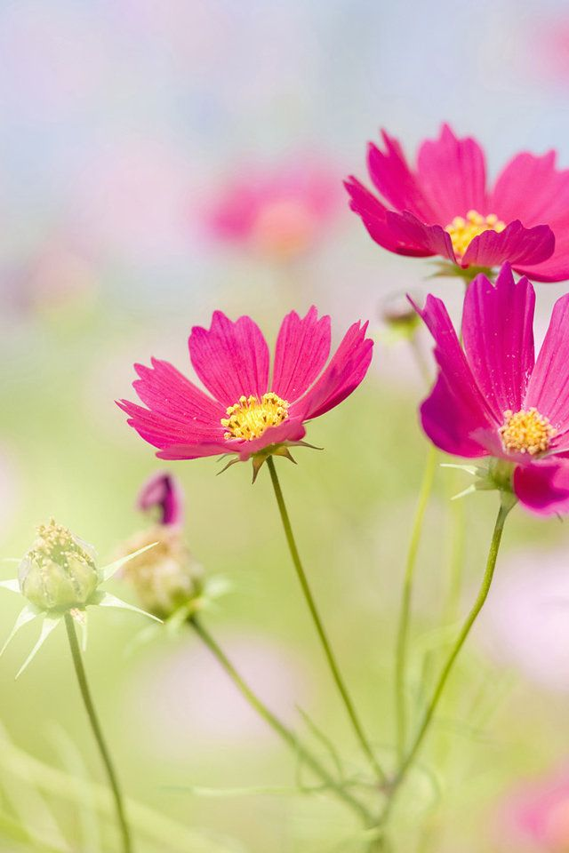 Fresh flowers macro photo wallpapers hd mobile phone free - Flower wallpaper for your phone ...