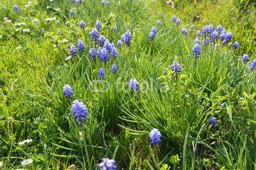 Blue flowers on meadow in spring