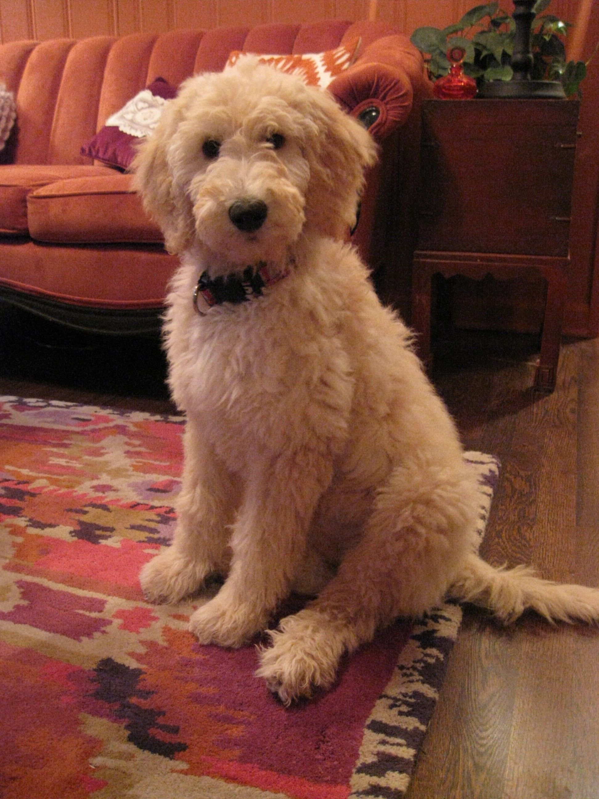 goldendoodle haircuts golden doodle haircut doggie stuff am i the cutest dog ever made why yes yes i am with