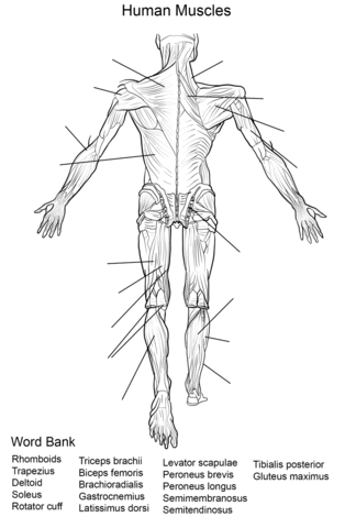 Human Muscles Back View Worksheet coloring page from