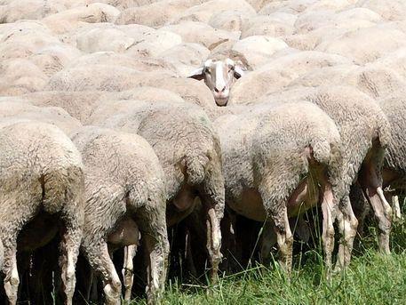 'Ganze Herd' kehrt! - ein Schaf ist immer dabei ....' von Dirk h. Wendt bei artflakes.com als Poster oder Kunstdruck $18.03