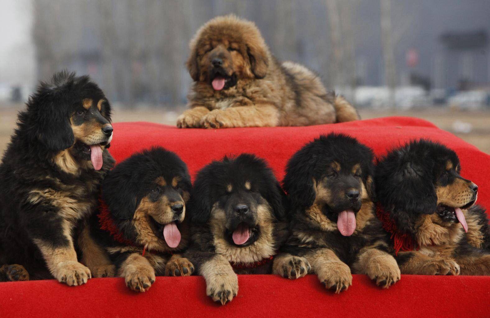 Tibetan Mastiff pups