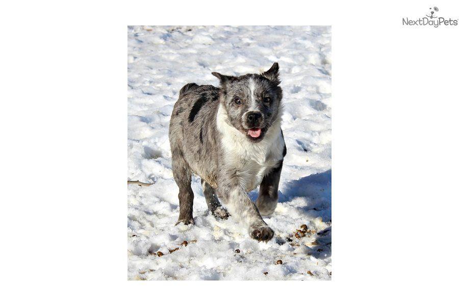 Sugar Australian Cattle Dog Blue Heeler Puppy For Sale Near East