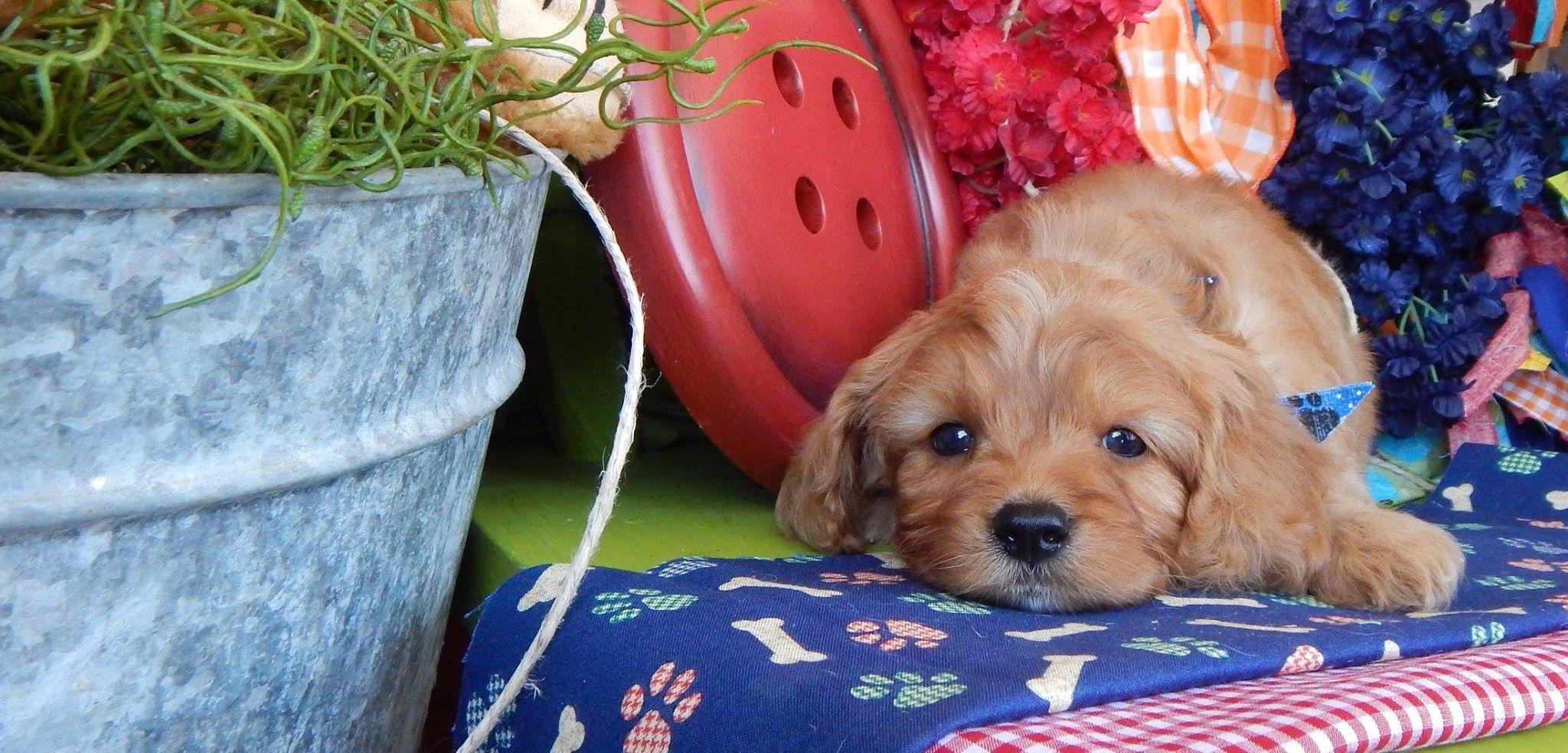 Cavapoo puppies for sale, Cavapoo, Cavapoos, Cavapoo dog