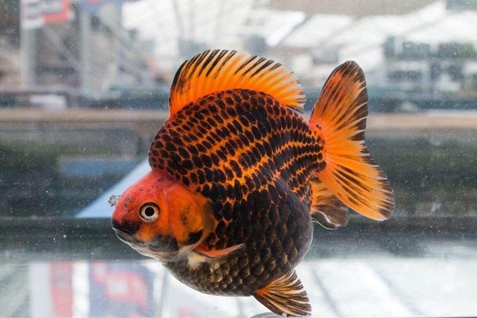 Goldfish Kingyo And Co Goldfish Betta Fish Types Cool Fish