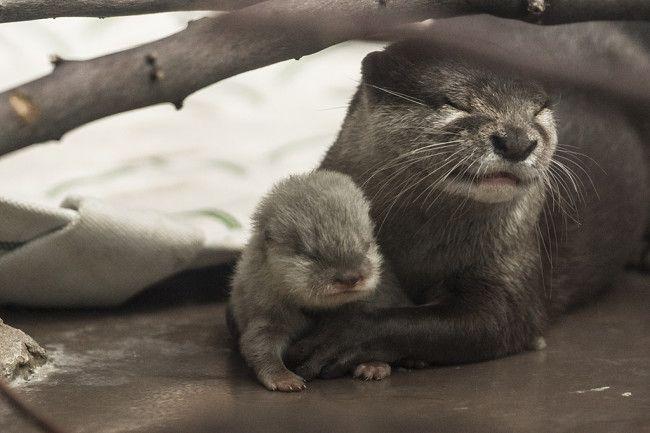 Otter Mum Shows Off Her New Pup at Tokyo's Sunshine Aquarium