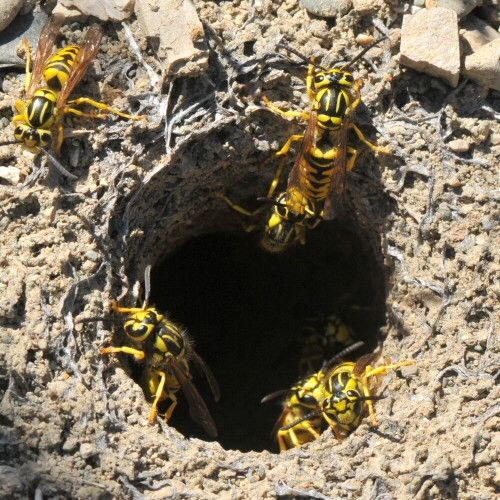 Missouri Yellowjackets Are Ground Nesting Here You See Where A Colony Has Established Itself In An Abandoned Rodent Burrow W Wasp Nest Wasp Nest Removal Wasp