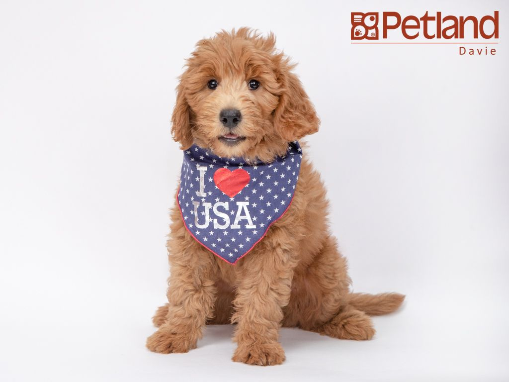 Petland Florida Has Miniature Goldendoodle Puppies For Sale Interested In Finding Out More About This Breed Check Out Our Available Miniature Goldendoodle Puppies Goldendoodle Puppy For Sale Puppies