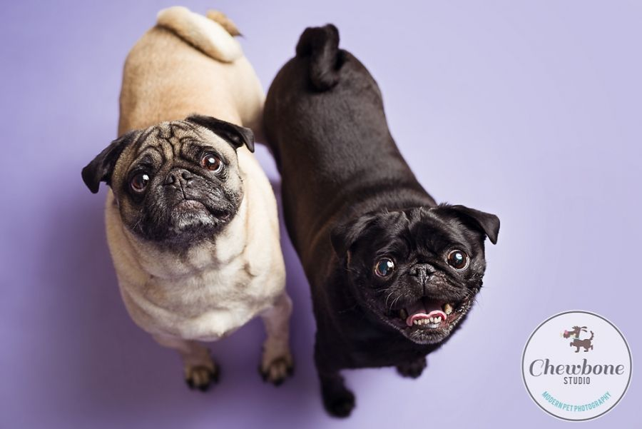 Pugs, siblings, sister and brother, orchid, pet