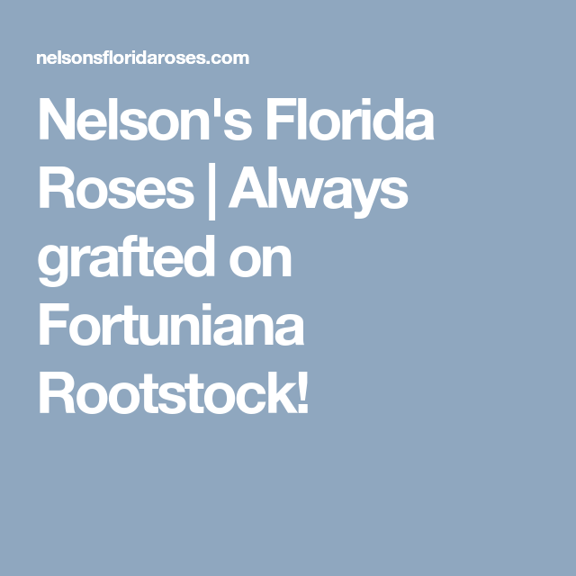 Nelson S Florida Roses Always Grafted On Fortuniana Rootstock