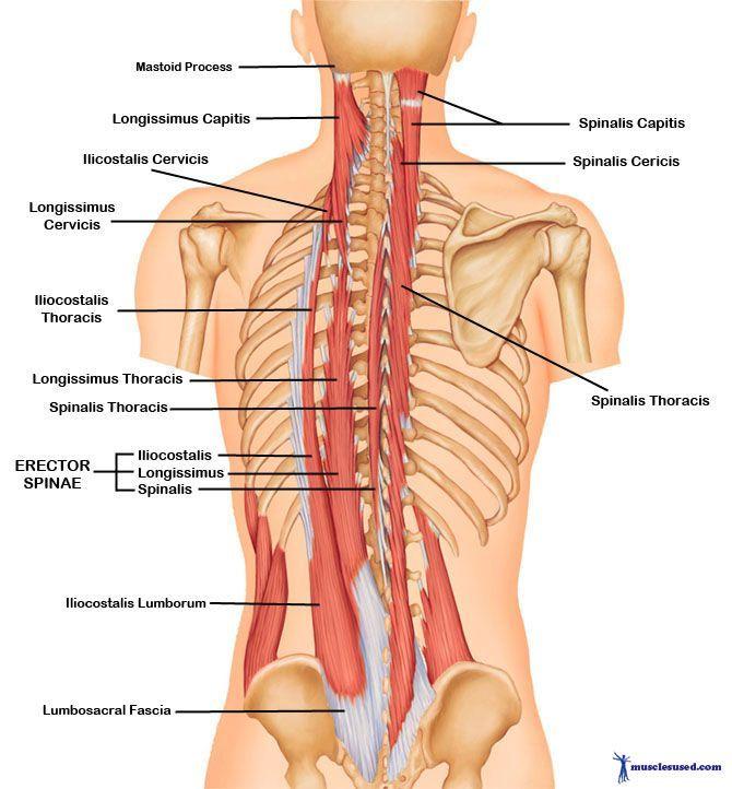 Upper Body Anatomy Google Search Body Muscle Pinterest Body