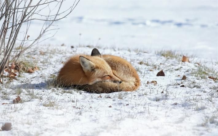 Sfondi desktop volpe inverno