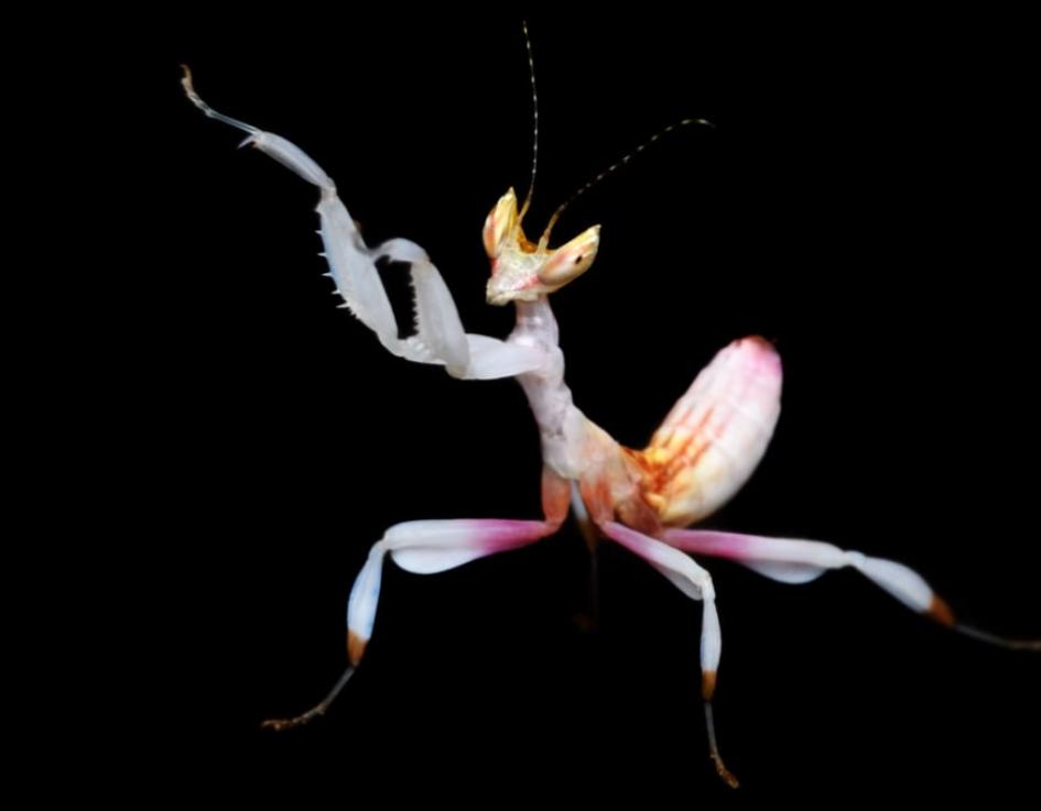 Pin By Darkkittee On The Amazing Praying Mantis In 2020 Praying Mantis Animals Spider