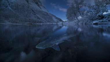 Bildet av en sjøørret i Signaldalelva gjorde at Audun Rikardsen vant både i kategorien årets landskapsbilde og den gjeveste prisen som årets nordiske naturfotograf. (Foto: Audun Rikardsen)