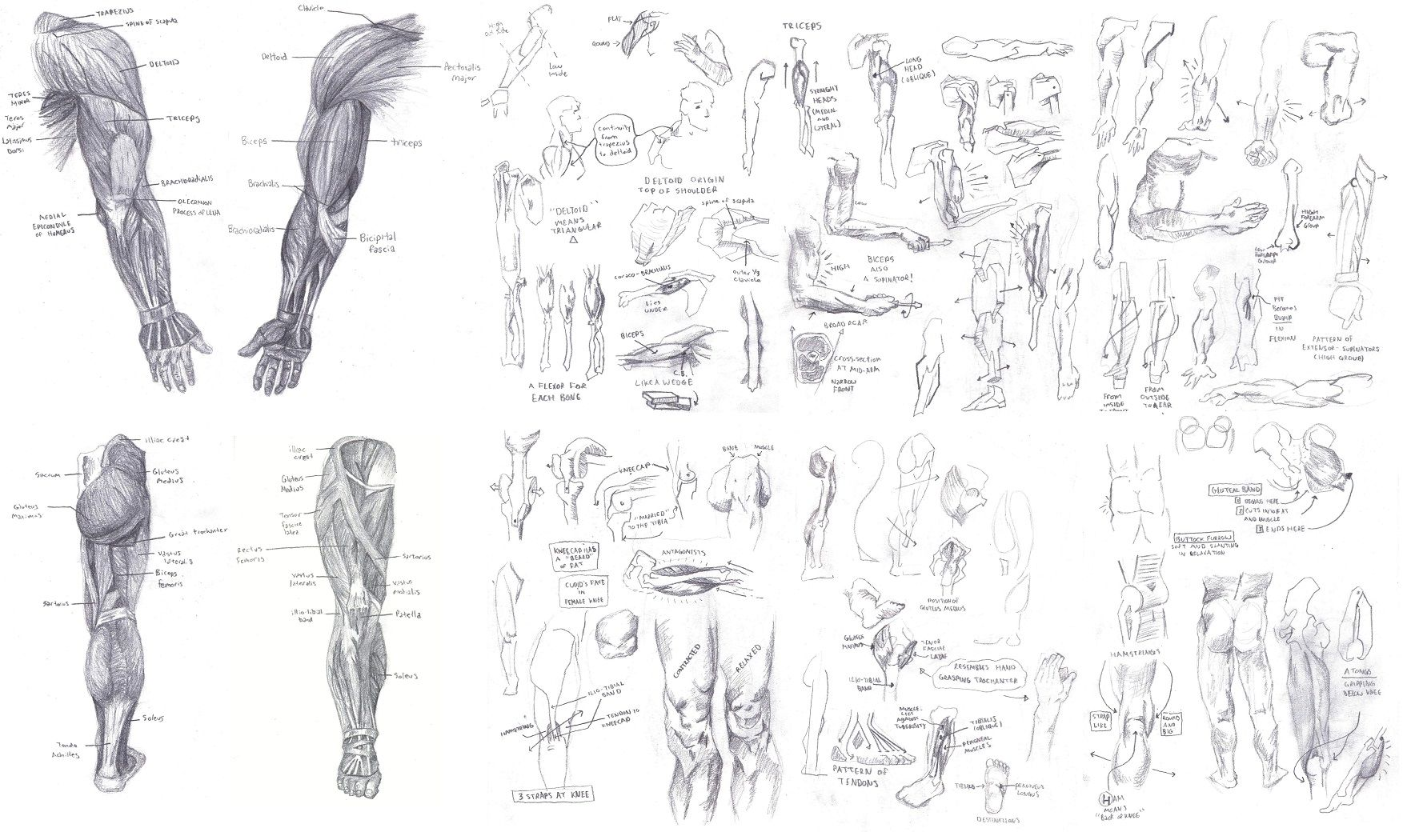 Armleg Study From Atlas Of Human Anatomy For The Artist By Stephen