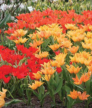 Lily Flowering Mix Tulip Bulbs Flower Bulbs At Burpee Com Bulb Flowers Fall Bulbs Tulip Bulbs