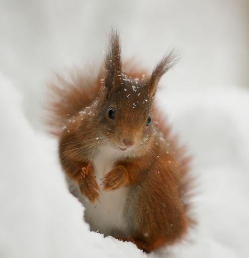 (via 500px / Red Squirrel by Matt Binstead)