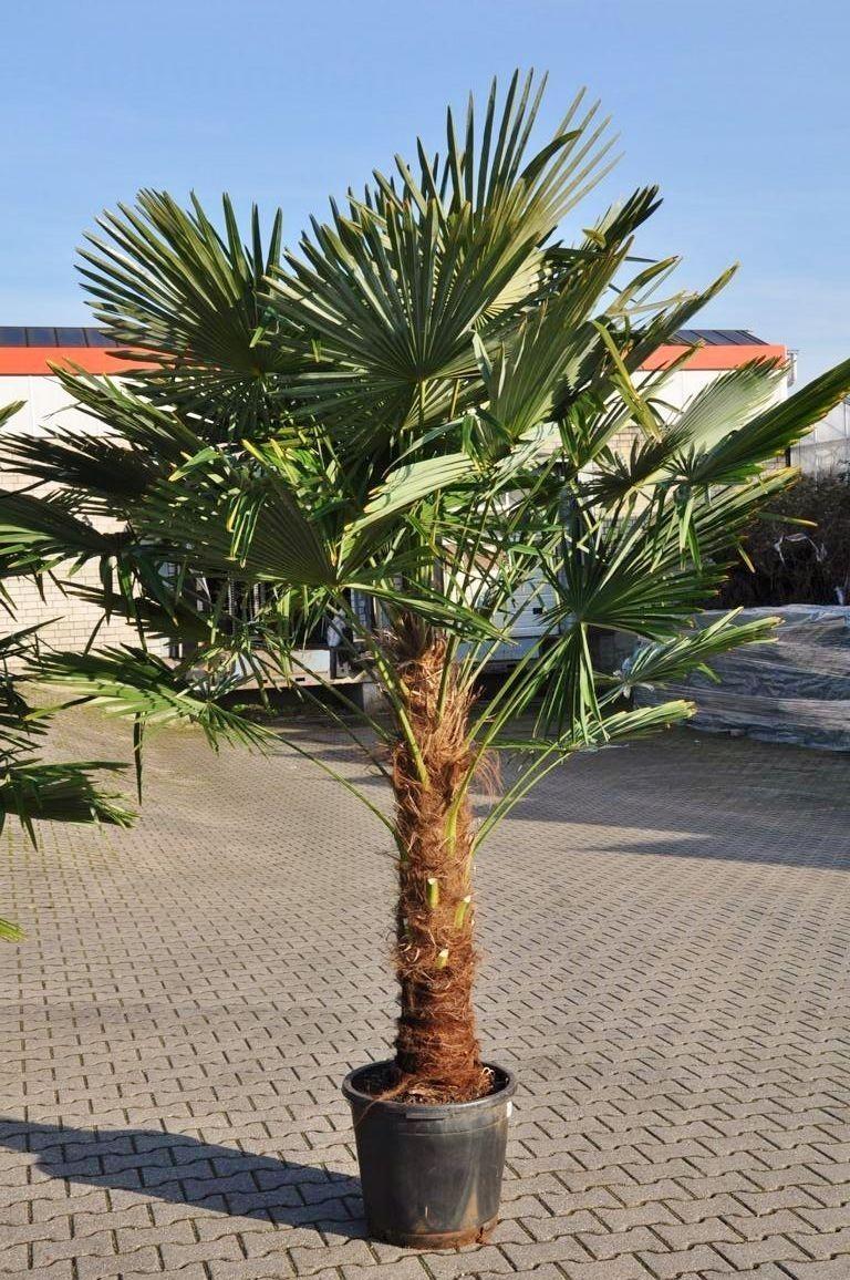 Hanfpalme Fortunei Winterhart 110 125 Stamm Vorbestellungspreis Viele Kennen Sie Noch Unter Tessiner Palme Oder Chamaerops Exelsa Trachycarpus Fortunei Kommt