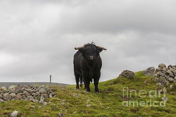 Black Highland Bull ©Diane Macdonald