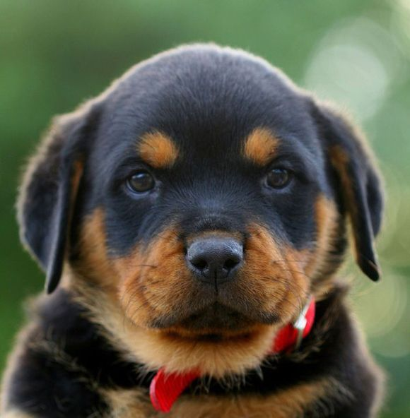 Someday I Want One Of These Too Cute Animal Pictures Rottweiler Love Cool Pets