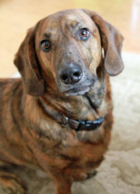 Norton Dachshund Mix Dachshund Dog Crossbreeds