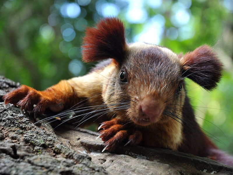 Grizzled Giant Squirrel Chinnar Grizzled Giant Squirrel Cute Animals Giant Squirrel Indian Giant Squirrel