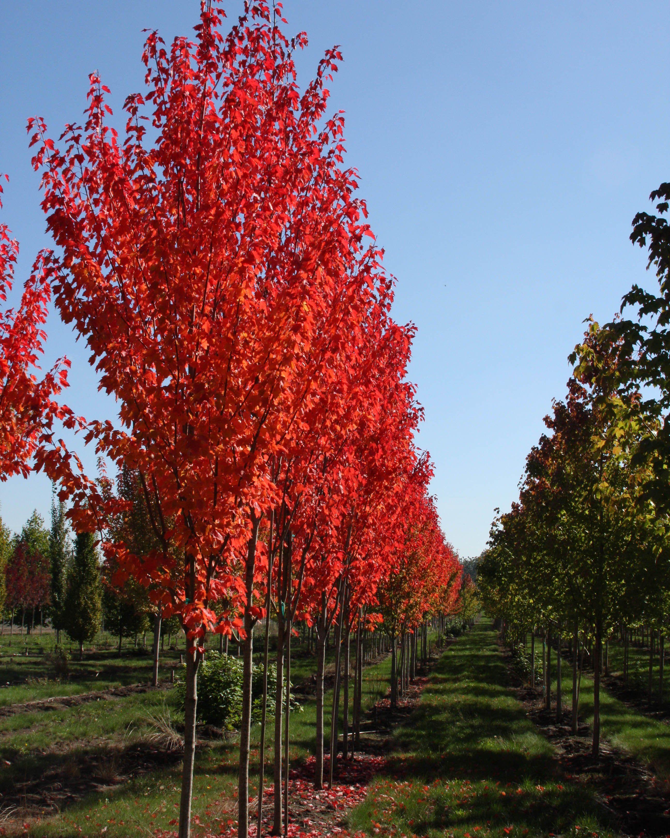 Maple 'Red Rocket' Landscape, Deciduous trees, Beautiful
