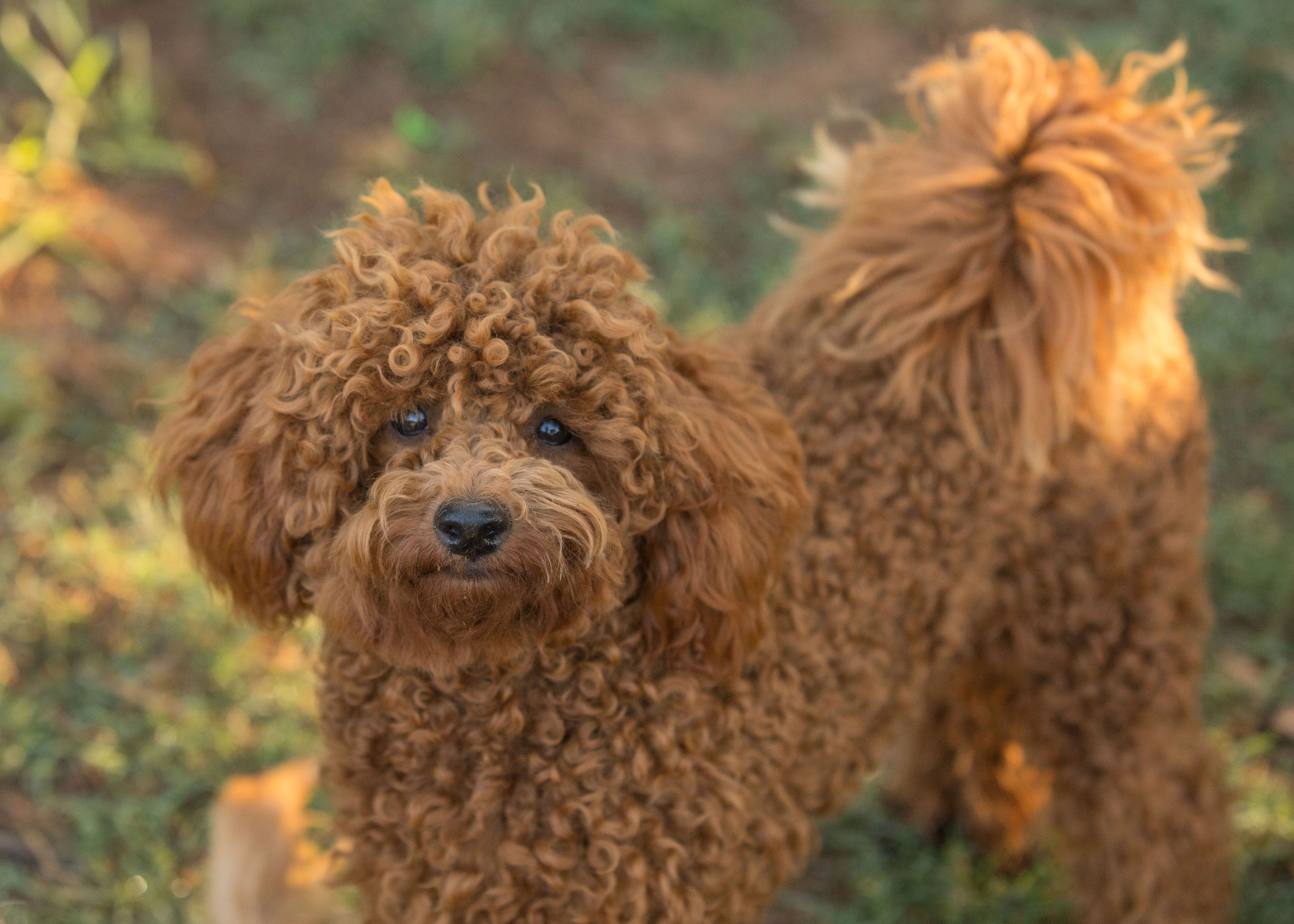 Piccolo The Poodle Is Going Through A Coat Change At The Moment Here You Can See His Curls Are Getting Tighter A Poodle Puppy Dog Grooming Salons Pet Grooming