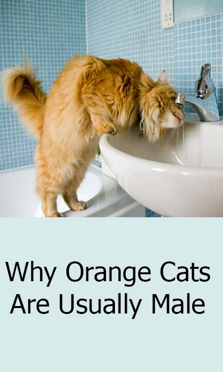 Why Orange Cats Are Usually Male Orange cats, Cat lovers