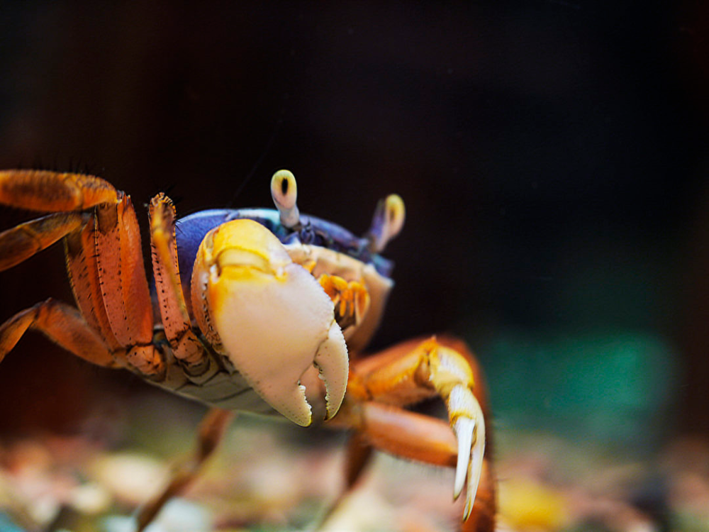 What Do Crabs Eat? Algae, Protein, And More Aquariadise
