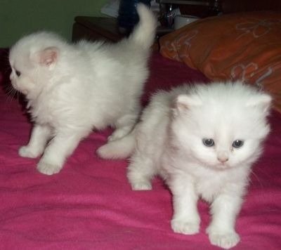 Teacup Persian Cats For Adoption Adorable Teacup Persian Kittens For Adoption Uae Kitten Adoption Teacup Persian Kittens Persian Kittens
