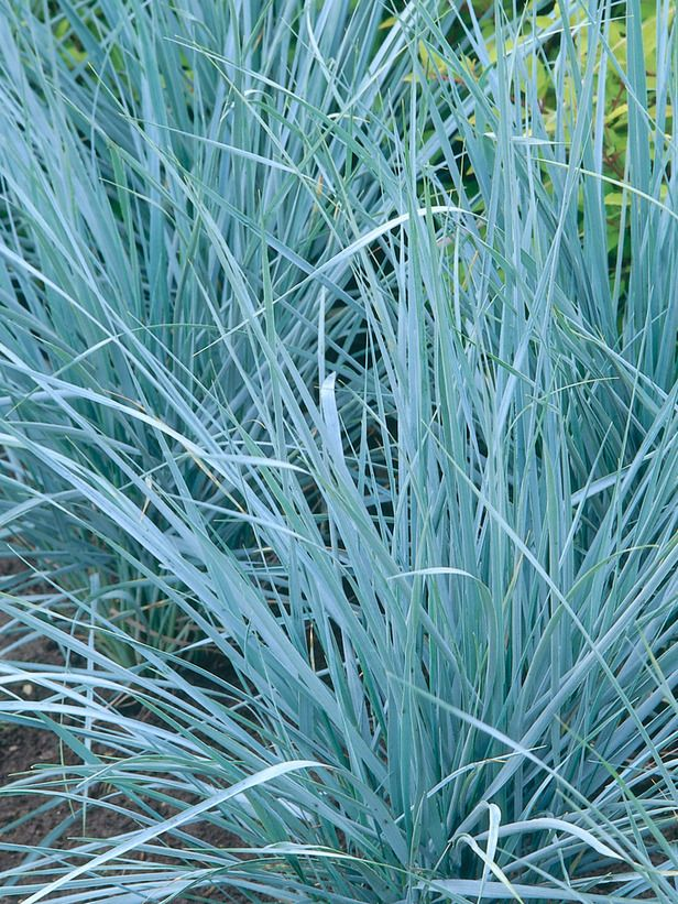 Blue wheatgrass named for its beautiful blue color for Planting schemes with grasses