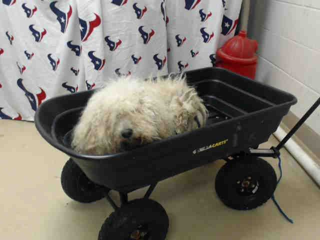 07 09 16 Super Urgent Houston Tx This Dog Id A462058 I Am A Male White Poodle Standard Lost Or Abandoned Pet 4 Years Old Animal Shelter Animals Dogs