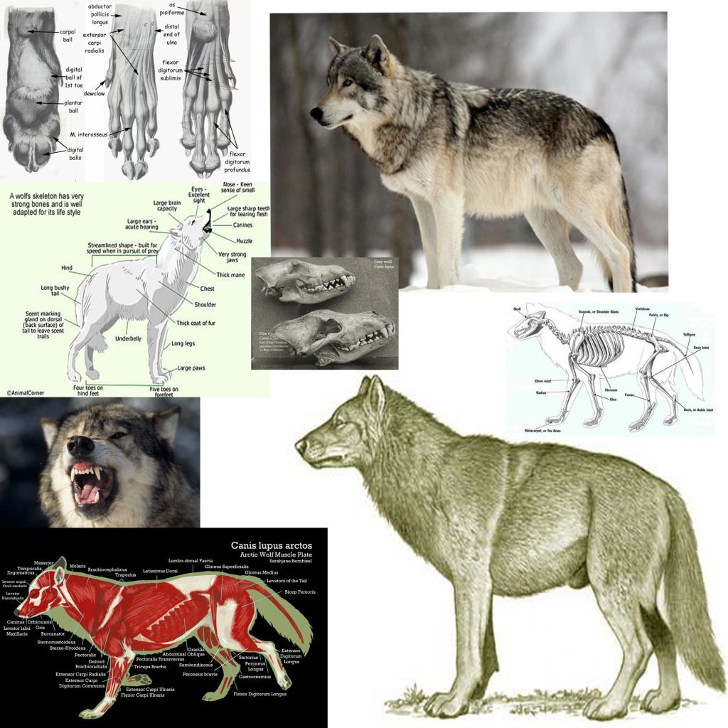 Dire wolf | 100 Animals | Pinterest | Dire wolf, Anatomy and Animal ...