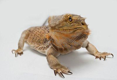 Bearded Dragons Underground Reptiles Jpg 1000x1000 Striped Purple Dragon