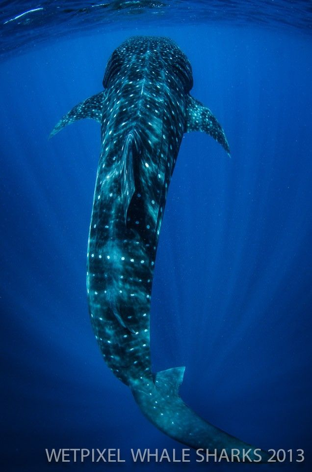 Open wide The diver who nearly got swallowed by a whaleshark - marine biologist job description