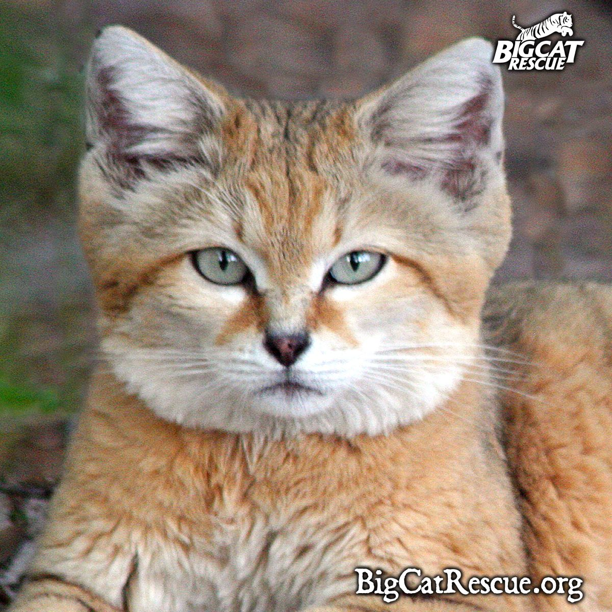 Sand cat facts, photos, videos, sounds and news Sand cat
