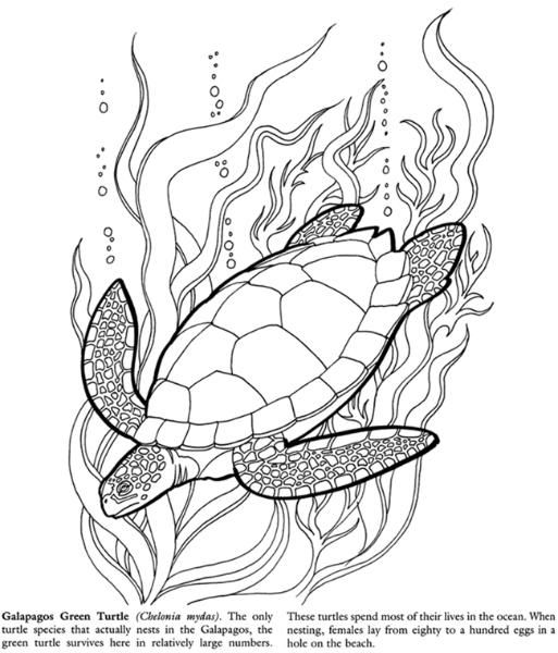 Galapagos Green Turtle Coloring Turtle Coloring Pages Sea Turtle Drawing Turtle Drawing
