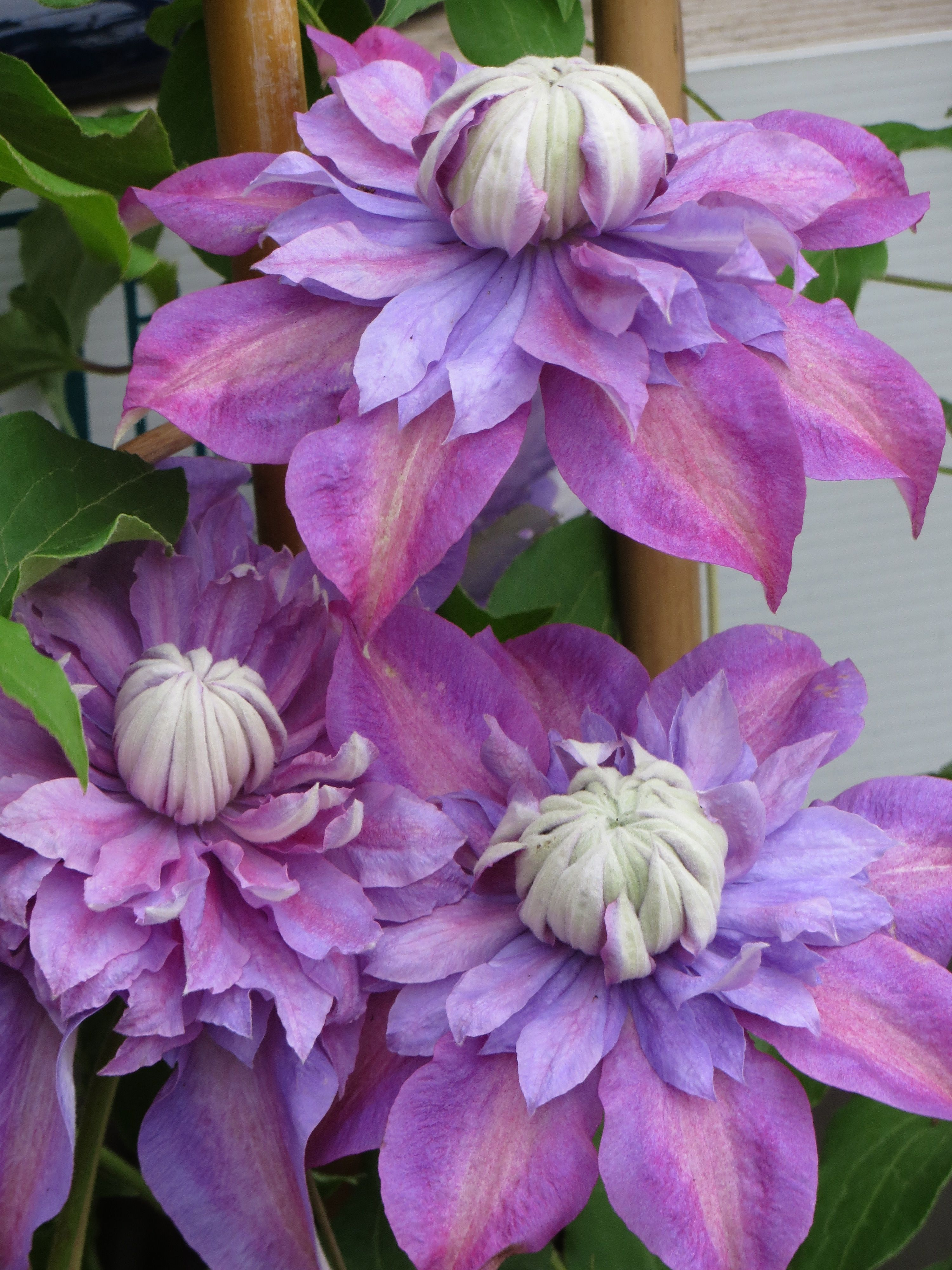 a Raymond Evison clematis (The Chelsea feature for 2008 and named after Raymond Evison's eldest daughter. Clematis Rebecca has stunning large red flowers and flowers freely over a lo…