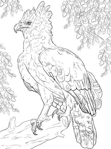 Águila harpía posada sobre una rama Dibujo para colorear | pájaros y ...