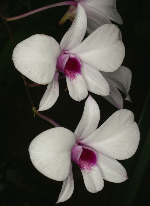 Dendrobium Bigibbum Another Color Form Beautiful Flowers Garden Orchid Flower Orchid Images