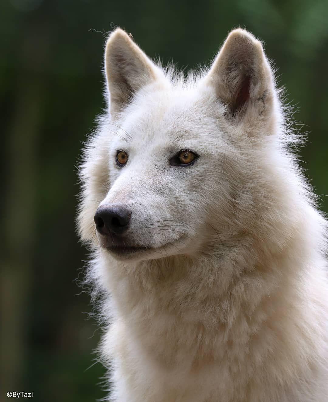 "By Tazi on Instagram: ""Hudson Bay wolf #hudsonbaywolf #wolf #wolfsofinstagram #wolfs #wolflovers #animal #canislupus #ByTazi #wildlifephotography #wildgeography…"""