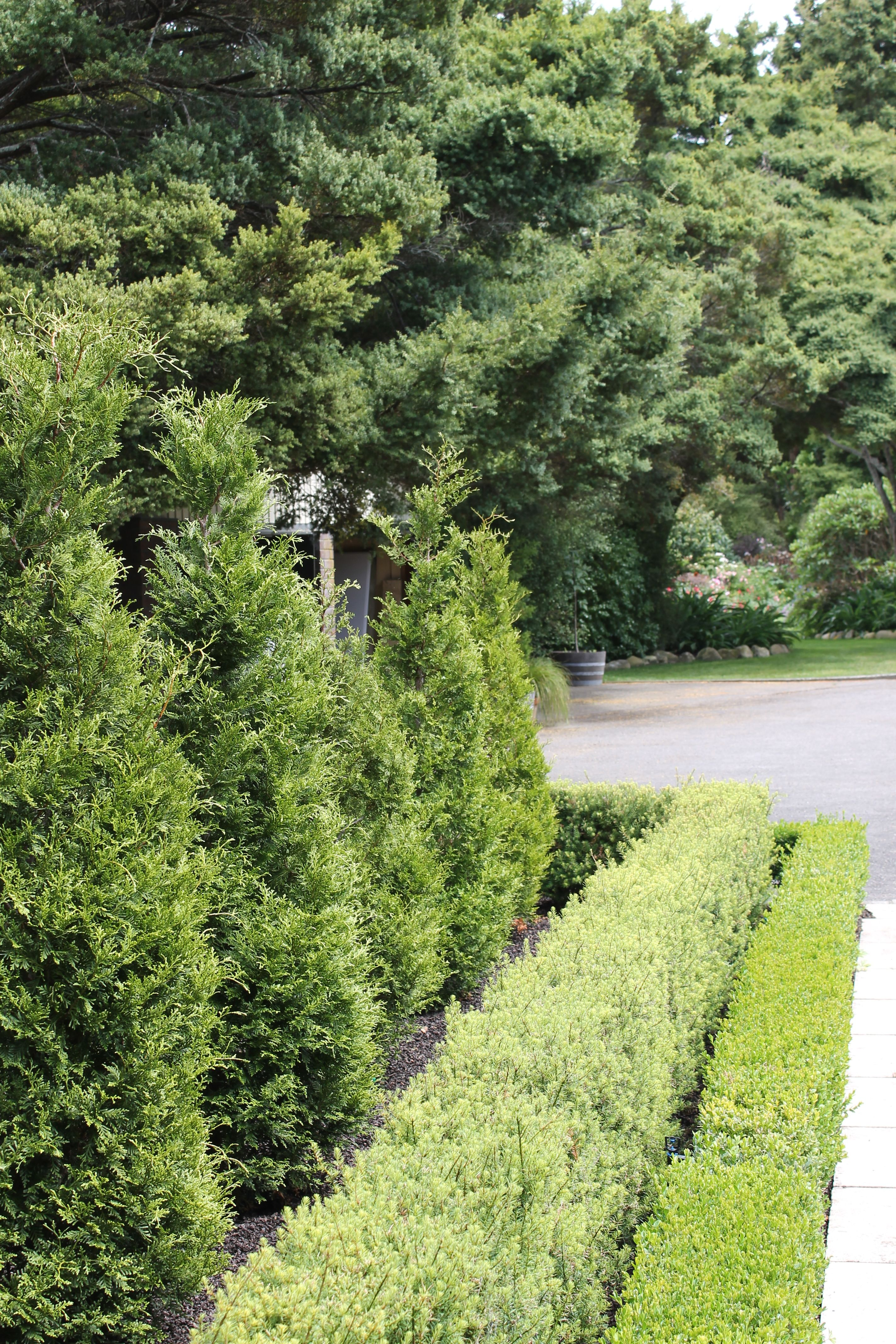 kawaka totara hedge and buxus hedge robyn sygrove garden design