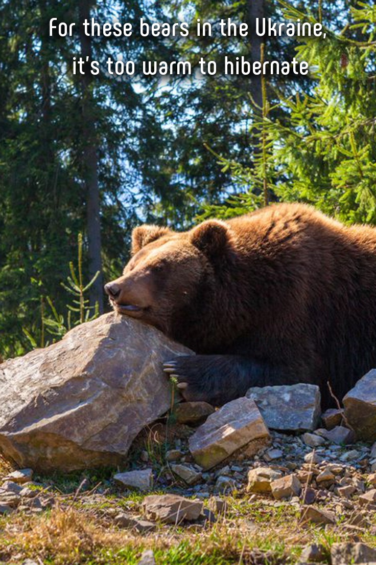 For these bears in the Ukraine, it's too warm to hibernate