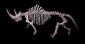 Skelett eines Wollnashorns