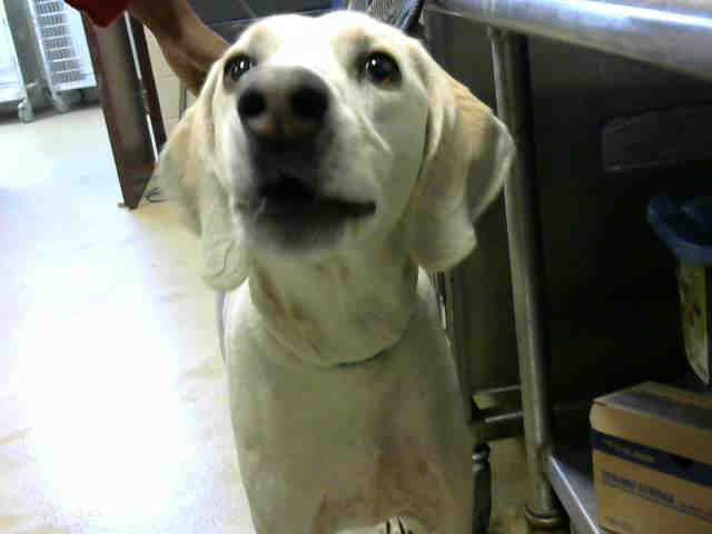 Beagle Dog For Adoption In Fayetteville Nc Adn 724339 On
