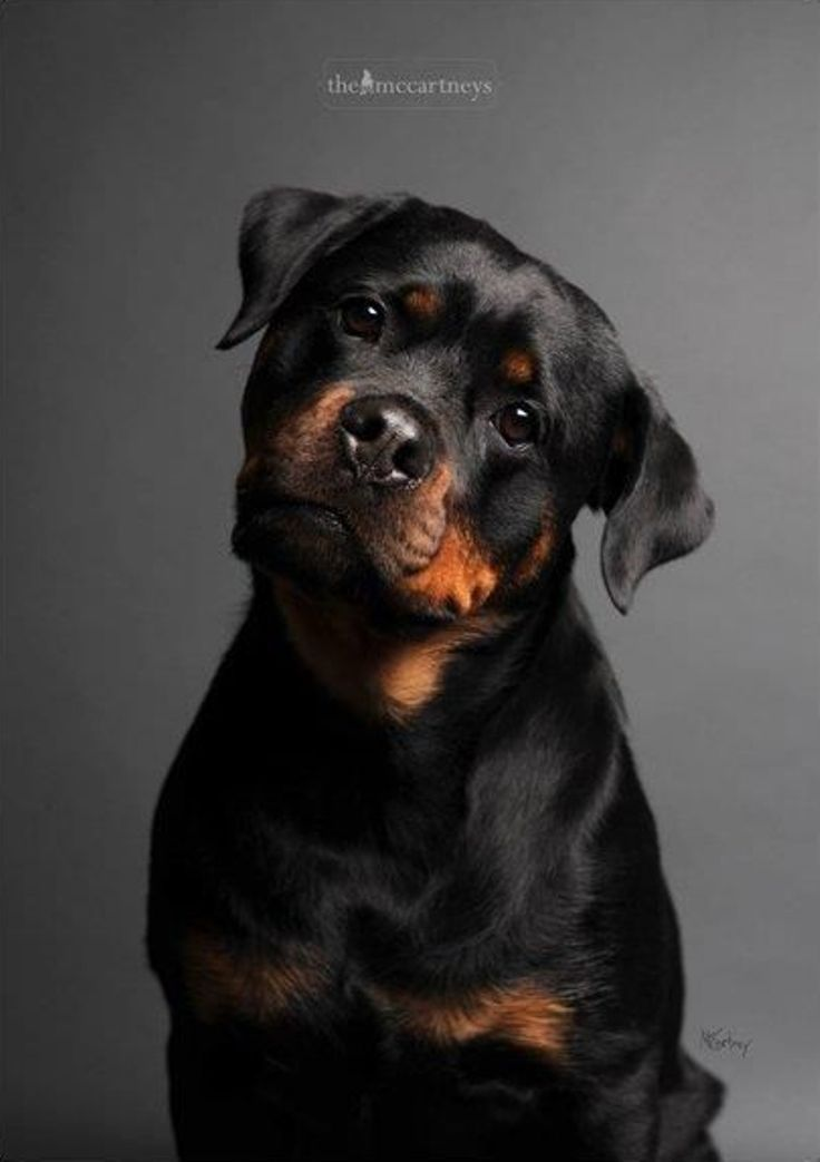Top 10 Most Expensive Dog Breeds Dogs Expensive Dogs