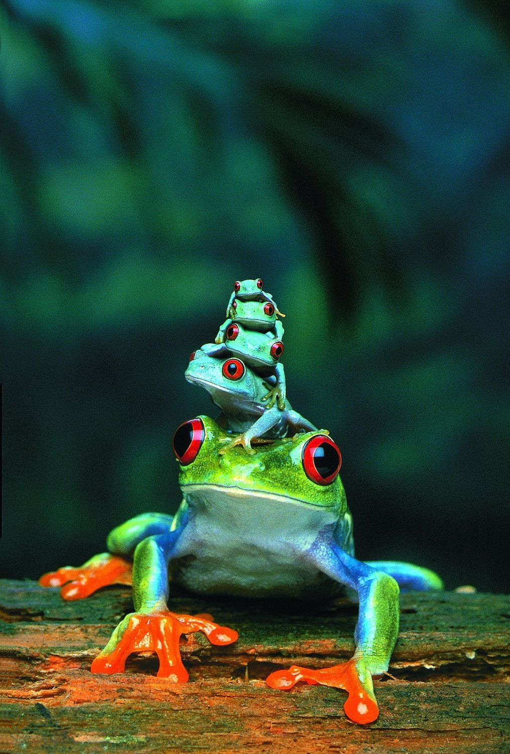 mama and her babies Cute animals, Red eyed tree frog